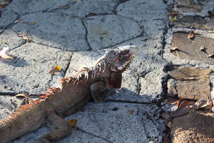 iguanas St. John, United States Virgin Islands